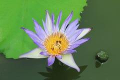 Lotus blomma lotusblomma Arkivfoto