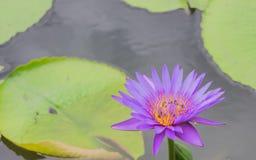 Lotus blomma med bin Arkivbild