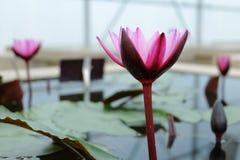 Lotus blomma med blad Arkivfoto