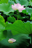 Lotus blomma med kronblad Arkivbilder