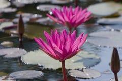 Lotus blomma med lotusblommabladet i bakgrund Fotografering för Bildbyråer