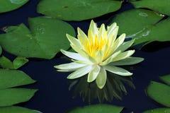 Lotus blomma med reflexion Fotografering för Bildbyråer