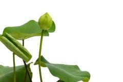 Lotus blomma och blad som isoleras på vit Arkivbild