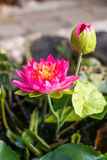 Lotus blomma och Lotus blomma Arkivfoto