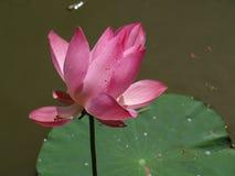 Lotus blomma och växter Arkivbilder
