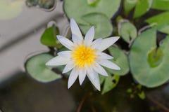 Lotus blomma och växter för Lotus blomma Arkivfoto