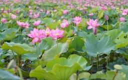 Lotus blomma och växter för Lotus blomma Royaltyfria Bilder