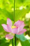 Lotus blomma och växter för Lotus blomma Royaltyfri Bild
