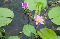 Lotus blomma på det gröna bladet Arkivbilder