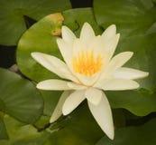 Lotus blomma på lilly block Royaltyfri Bild