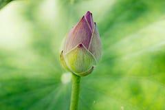 Lotus blomma på naturlig bakgrund Fotografering för Bildbyråer