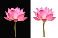 Lotus blomma på svartvit bakgrund arkivbilder