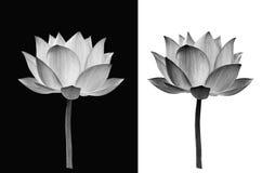 Lotus blomma på svartvit bakgrund royaltyfri fotografi