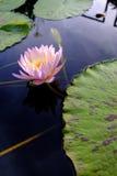 Lotus blomma på vatten Fotografering för Bildbyråer