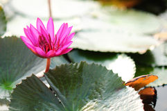 Lotus blomma på vattnet  Royaltyfria Bilder