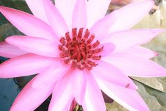 Lotus blomma på vattnet i trädgård arkivbild