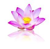 Lotus blomma på vit Arkivbild