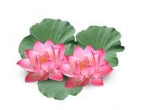 Lotus blomma p? vit bakgrund royaltyfri bild