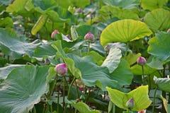 Lotus blomma, produktion för itss blomma royaltyfri fotografi