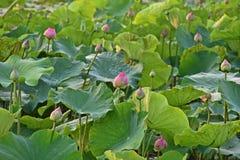 Lotus blomma, produktion för itss blomma royaltyfri foto