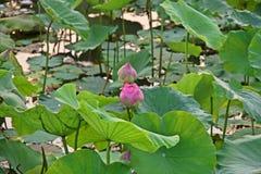 Lotus blomma, produktion för itss blomma fotografering för bildbyråer