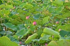 Lotus blomma, produktion för itss blomma royaltyfria bilder