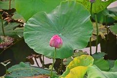 Lotus blomma, produktion för itss blomma arkivfoton