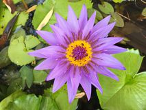 Lotus blomma som blommar lilor i trädgården fotografering för bildbyråer