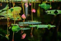 Lotus blomma som inte blommar arkivfoto