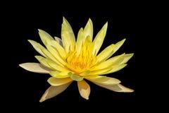 Lotus blommor Royaltyfri Bild