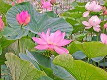 Lotus blommor i ett damm Arkivbild