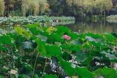 Lotus blommor och sidor över vatten på den västra sjön, i Hangzhou, Kina arkivfoto