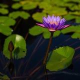 Lotus blommor på det Pruksa trädgårddammet Royaltyfria Bilder