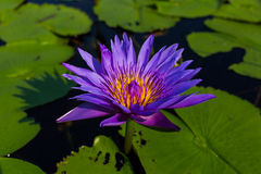 Lotus blommor på det Pruksa trädgårddammet Arkivfoton