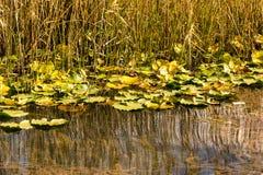 Lotus blommor på sjön Abant Fotografering för Bildbyråer