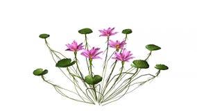 Lotus blommor som isoleras på vit bakgrund lager videofilmer
