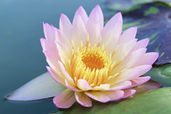 Lotus blomning Fotografering för Bildbyråer