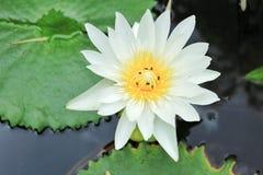 Lotus blomning Arkivbilder