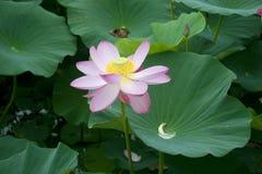 Lotus blomningar Arkivbilder