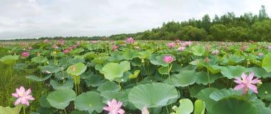 Lotus blomningar Arkivfoto