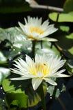 Lotus blomstrar blommor som blommar på dammet Royaltyfri Bild