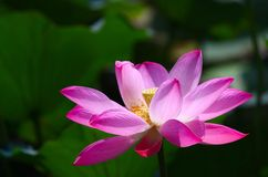 Lotus bloom Stock Photo