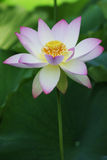 Lotus bloom. Lotus flower blooming Stock Images