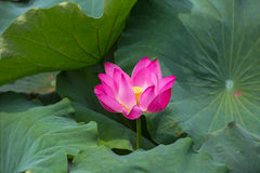 Lotus in bloom Royalty Free Stock Images