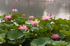 Lotus in Bloom in Beihai Park, Beijing. Lotus, also sacred lotus, Nelumbo nucifera, is native to Asia Royalty Free Stock Image
