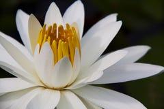 Lotus Bloom bianca fotografie stock libere da diritti