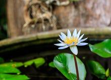 Lotus Bloom blanca Fotografía de archivo libre de regalías