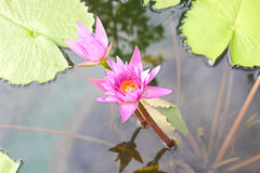 Lotus bloom. Blooming lilies planted in a pot of water Stock Photo