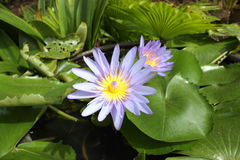 Lotus bloom. Blooming lilies planted in a pot of water Stock Photos