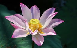 Lotus bloom. Lotus flower blooming it is pink color Stock Images